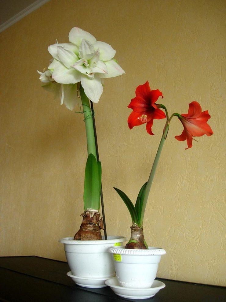 Комнатные растения луковичные цветущие цветы фото