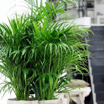 Хамедорея: правильный уход за неприхотливой пальмой. 52 фото-идей украшения сада и дома