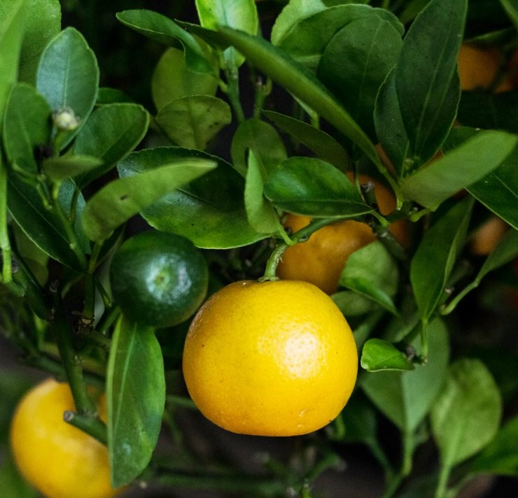 calamondin Calamondin citrus trees are a cross between a mandarin orange and a kumquat find out more about growing your own calamondin fruits in this article click here to learn more.
