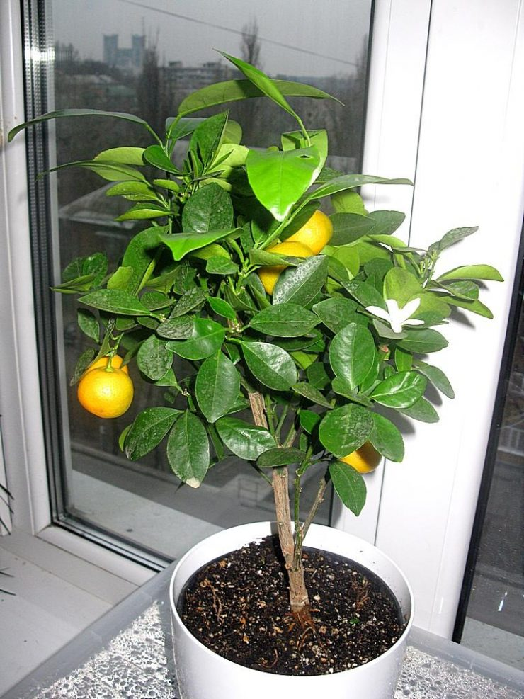 Выращивание апельсина дома 74