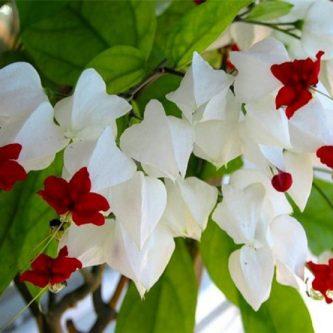 Клеродендрум - растение цветущее круглый год. 82 фото удивительно красивого кустарника