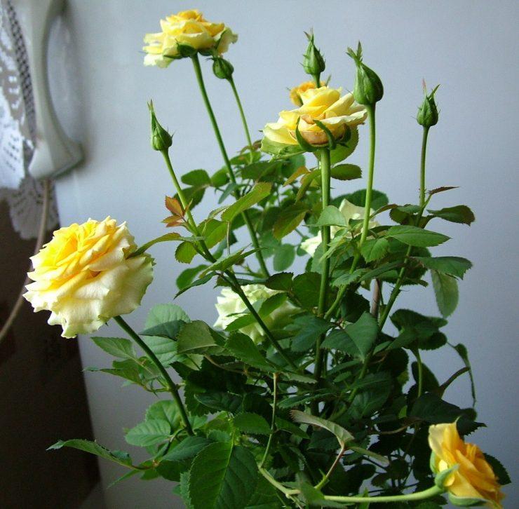 Купить семена комнатной розы