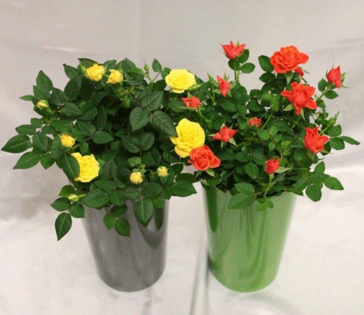 Домашняя роза комнатная уход в домашних условиях фото 537