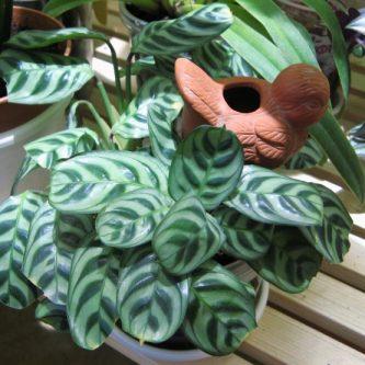 Ктенанта: посадка, выращивание и дальнейший уход за декоративным растением (70 фото-идей)