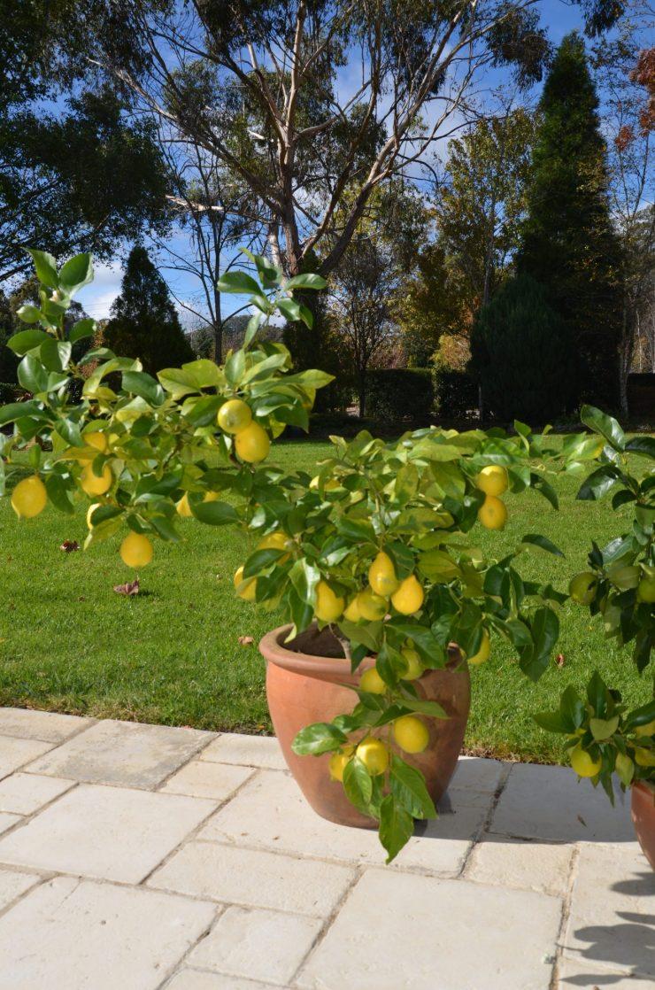 как посадить лимон в домашних условиях фото