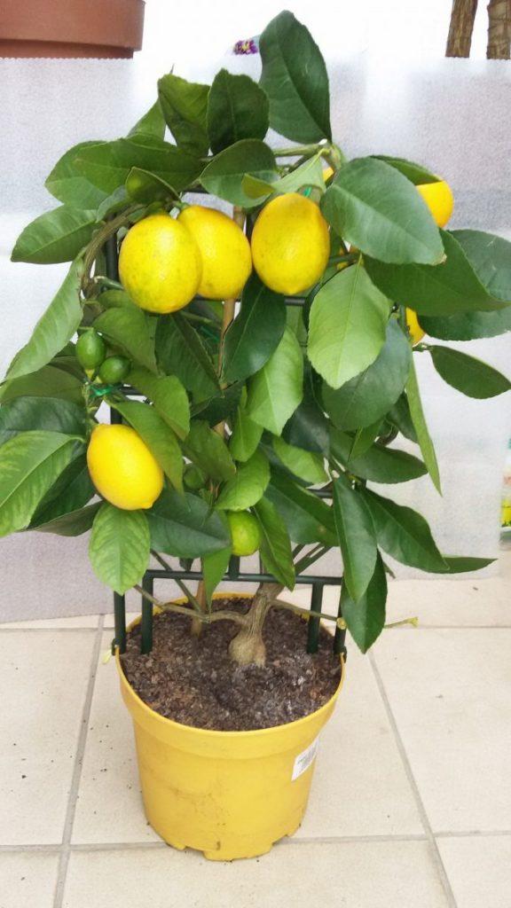 Все о цветах и фото лимона