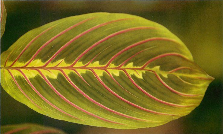 Маранта - 10 самых популярных видов и сортов с фото | 444x740