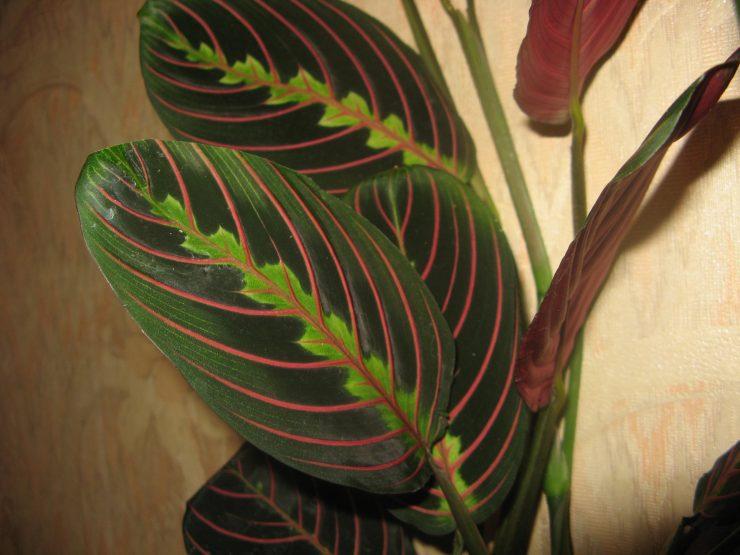 Маранта: фото и виды, размножение и способы ухода в домашних условиях | 555x740