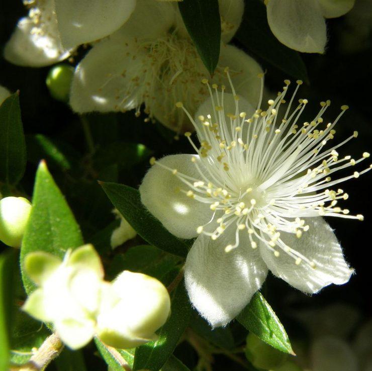 Цветы мирта обыкновенного
