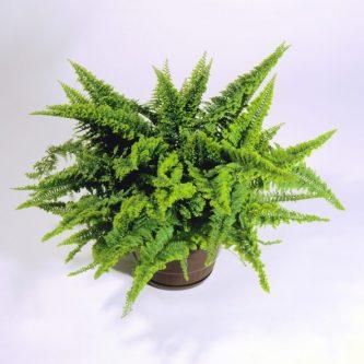Нефролепис (72 фото) - как осуществить качественный уход за удивительно полезным растением