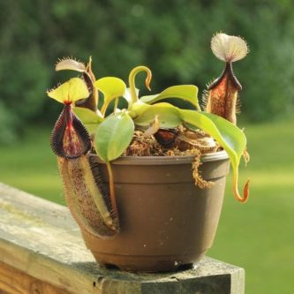 Непентес - виды растения, кормление и полив. 69 фото необходимого ухода