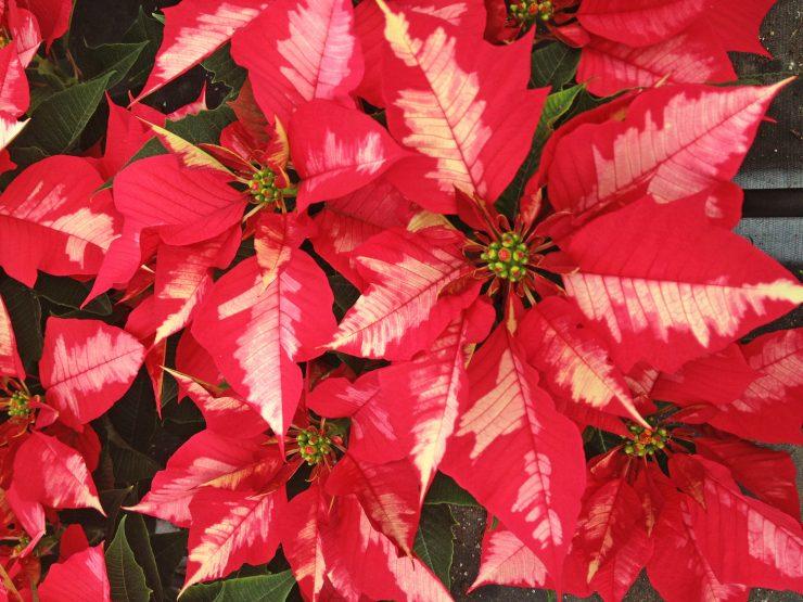 Пуансеттия рождественская звезда уход в домашних условиях 82