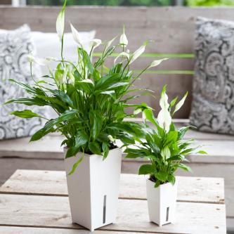 Спатифиллум: выращивание в домашних условиях. Рекомендации от профессионалов (96 фото + видео)