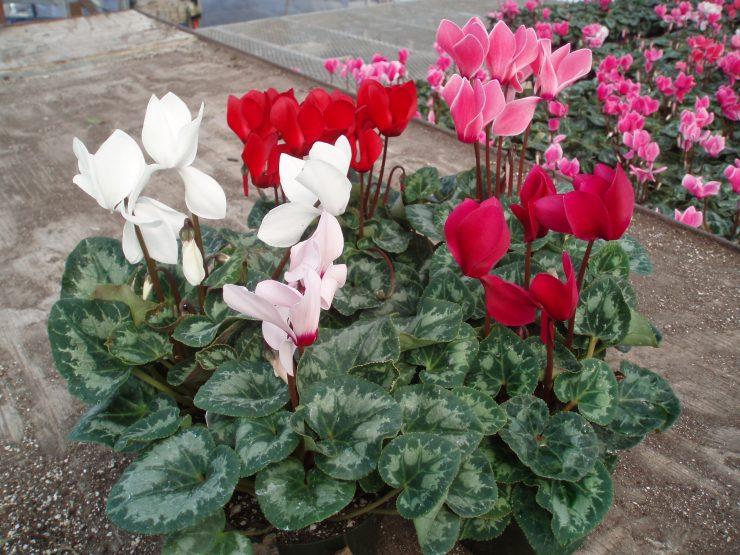 Уход за цветами в домашних условиях цикламен 138