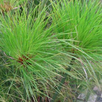 Циперус - требования к температуре, влажности и грунту для быстрого роста. 51 фото растения
