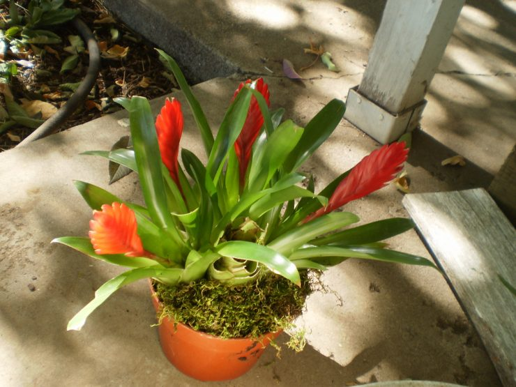 Вриезия уход и выращивание в домашних условиях 60