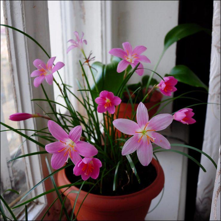 Зефирантес - 89 фото ухода за цветком любящим прохладу
