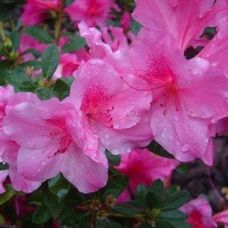Азалия: виды, особенности, уход. 65 фото цветения домашнего растения