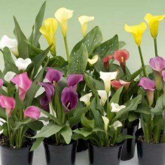 Зантедеския (87 фото) — что это за растение и как за ним ухаживать правильно