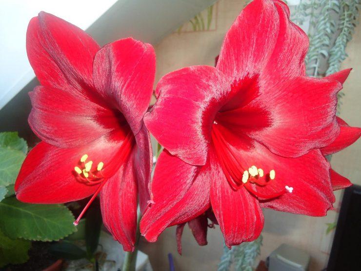Фото домашнего цветка гиппеаструм
