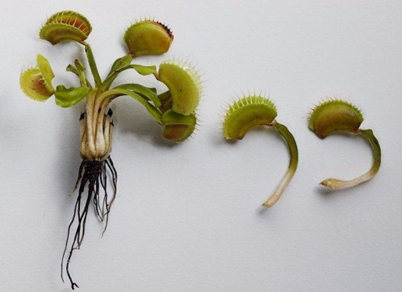 размножение венериной мухоловки