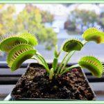 венерина мухоловка фото растения