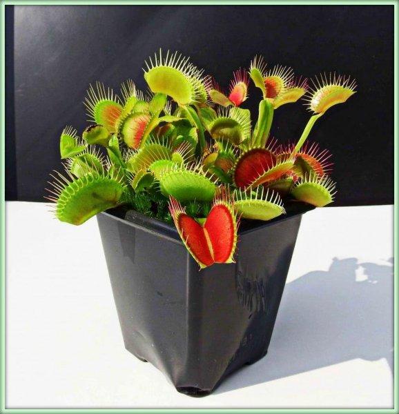 дионея фото комнатное растение
