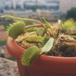 венерина мухоловка в домашних условиях