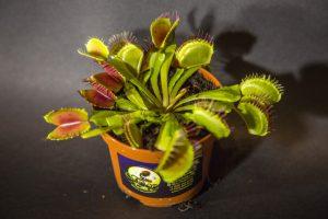 вид дионени хищного растения