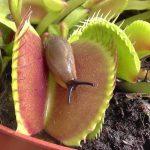уход и подкормка венериной мухоловки