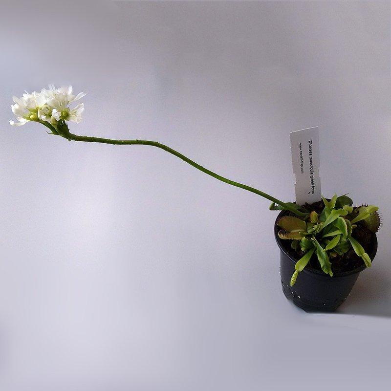 выращивание дионеи цветоносом