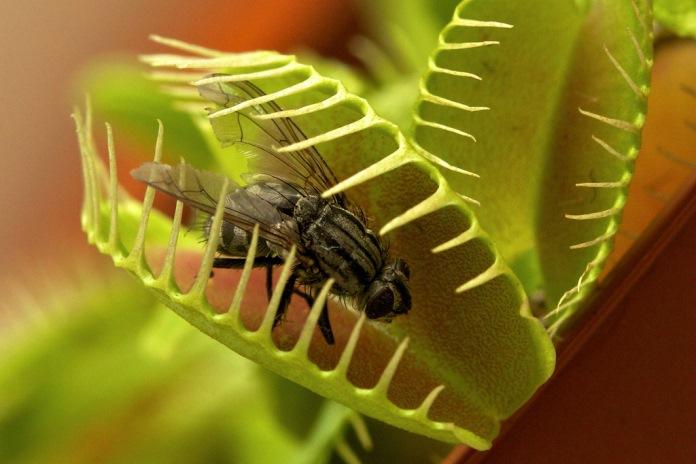 мухоловка ест мух фото
