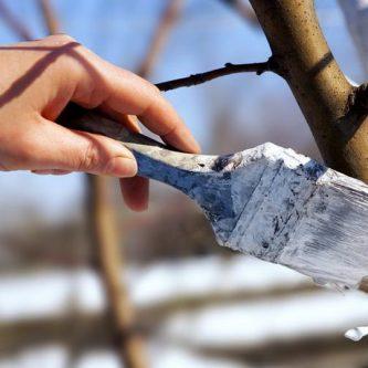Осенняя побелка деревьев: зачем, когда и чем белить деревья