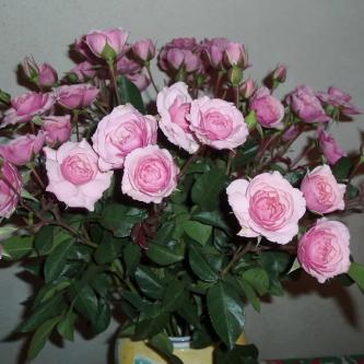 Правильное черенкование розы из букета в домашних условиях