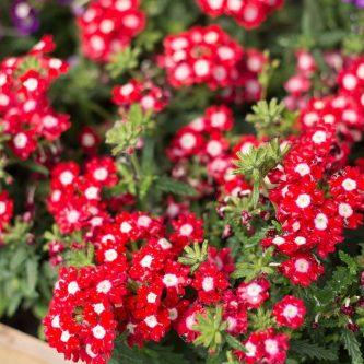 Красные цветы для клумбы, фото и названия наиболее популярных